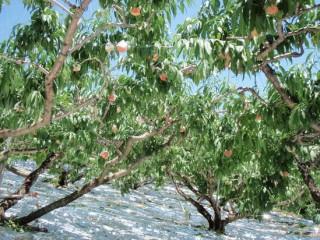 27年7月23日桃の木-thumb-550x412-3394